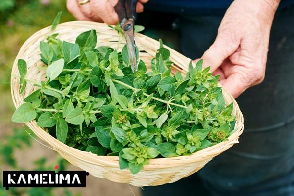 گیاه ژیمناما برای قند خون